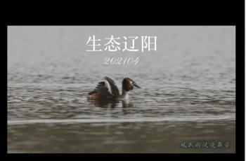 凤头䴙䴘的恋爱季