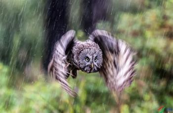淋雨出击∶乌林鸮下雨也出击捕猎。(祝贺荣获每日佳作)