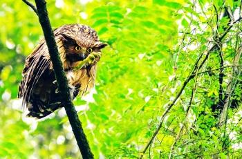 观黄脚渔鸮