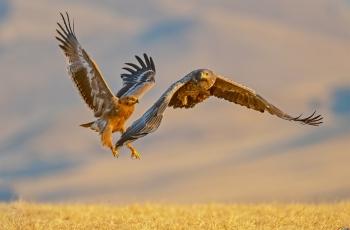 《这小子翅膀硬了》草原雕