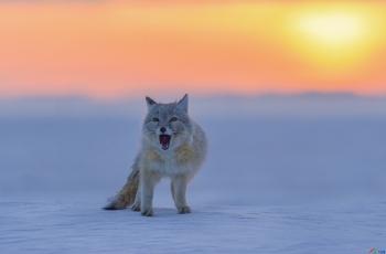 雪中小沙狐
