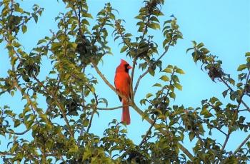 红雀跳跃慢动作
