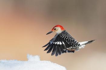 红腹啄木鸟