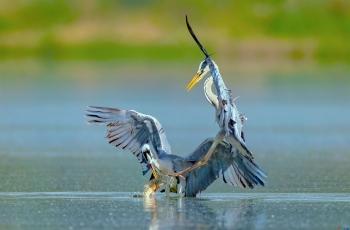 《把鱼放下》苍鹭