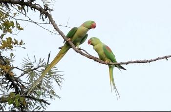 亚历山大鹦鹉的爱情