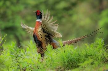 高傲的环颈雉(贺获鸟类精华)