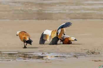 赤麻鸭之异常行为