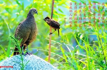 白颊噪鹛与雉鸡的对话