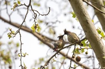 《梧桐树上太平鸟》