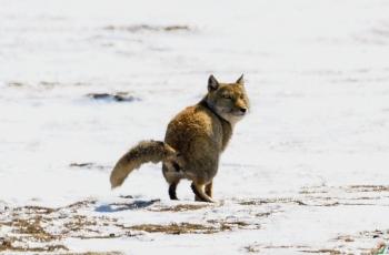 《标记领地--藏狐》---- 贺荣获野生动物首页精华!