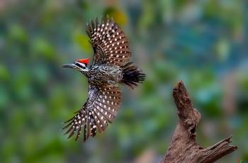大金背啄木鸟----(恭贺获首页精华)