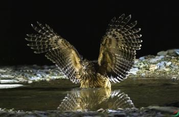 黄腿漁鸮(贺获鸟类精华)