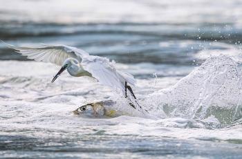《鱼口夺食》