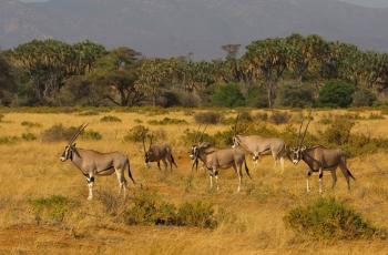 东非长角羚(祝贺荣获首页动物精华)