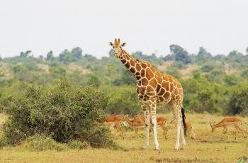 非洲草原——长颈鹿(祝贺老师佳作荣获鸟网首页动物精华)