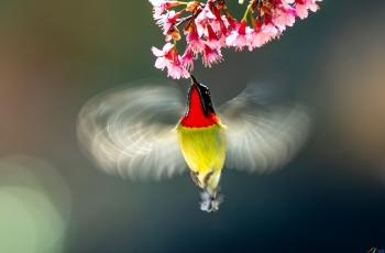 櫻花與太陽鳥(恭賀老師佳作榮獲鳥網首頁《每日佳作》)
