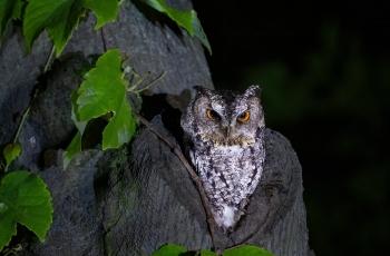 領角鸮(祝賀老師榮獲首頁精華)