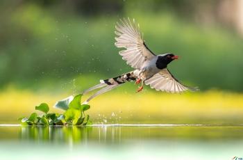 红嘴蓝鹊 (恭祝老师佳作荣获首页鸟类精华 )