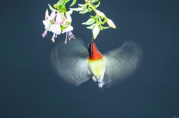 叉尾太陽鳥(祝賀老師榮獲首頁精華)