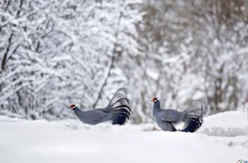 雪地蓝马鸡~祝贺荣获首页鸟类精华!
