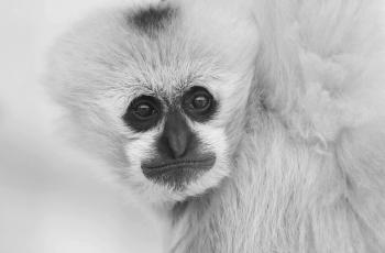 周末問好------白頰長u臂猿