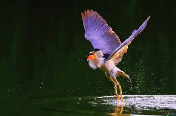 夜鹭 (恭祝老师佳作荣获首页鸟类精华 )