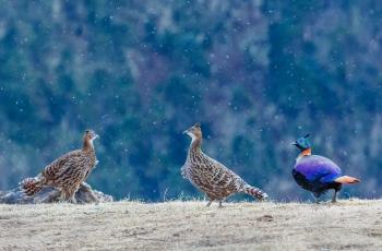 在哪飘雪的日子~~~贺图获《首页鸟类精华》