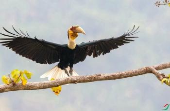 花冠皱盔犀鸟(祝贺荣获首页鸟类精华)