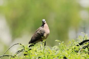 斑鳩俏立龍爪槐