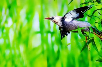 贊絲光椋鳥