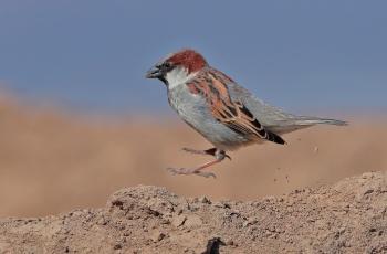 罕見的新疆亞種—《黑胸麻雀》