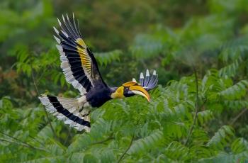 展翅飛翔 ---- 雙角犀鳥(祝賀老師作品榮獲VIP佳作�。�