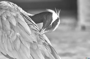 梳理羽毛------祝賀榮獲首頁黑白影像精華�。�!