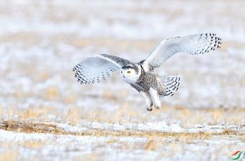 雪鴞(祝贺荣获首页鸟类精华)