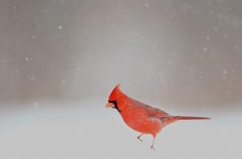 屹立在风雪之中--------北美红雀(贺获鸟类精华)