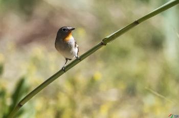 紅喉姬鹟鳥