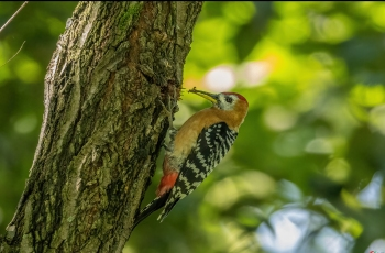 棕腹啄木鳥