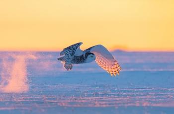 夕阳看雪鸮。
