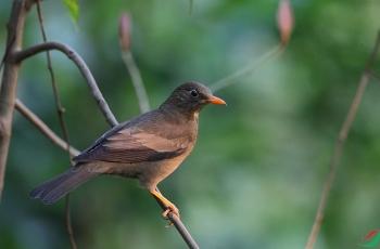 觀鳥筆記:灰翅鶇