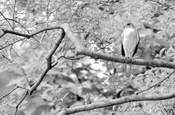 赤腹鷹-----祝賀榮獲首頁黑白影像精華�。�!