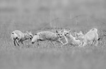 狐貍四兄弟-----祝賀榮獲首頁黑白影像精華�。�!
