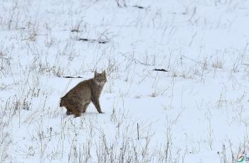 荒漠猫-祝贺荣获首页动物精华