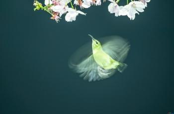櫻花·太陽鳥--- (祝賀老師佳作榮獲VIP綜合精華)