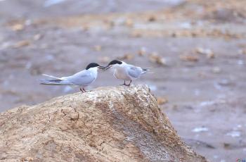 伴侶┄普通燕鷗