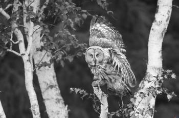 烏林鸮---- 祝賀榮獲黑白影像首頁精華!