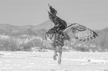 雪山雕鸮---- 祝賀榮獲黑白影像首頁精華!