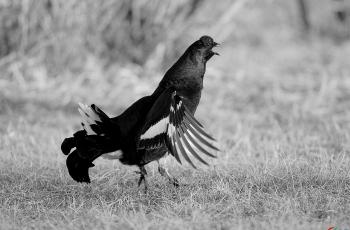 黑琴雞---- 祝賀榮獲黑白影像首頁精華!
