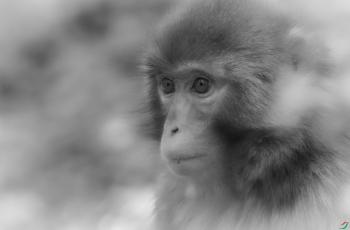 獼猴頭像---- 祝賀榮獲黑白影像首頁精華!