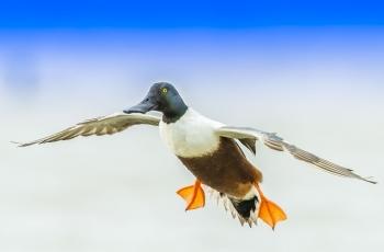 降落的赤頸鴨 --- (祝賀老師佳作榮獲VIP綜合精華)