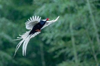 白鹇飞舞(祝贺荣获首页鸟类精华)